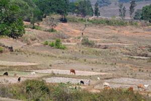 Коровы пасутся на полях