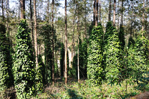 Лианы ползут по стволам деревьев