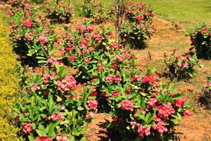Красные цветы эуфорбий