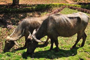 Индийские буйволы с рогами разной длины