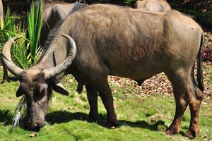 Взрослый индийский буйвол