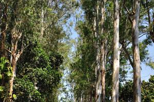 Аллея с высокими деревьями