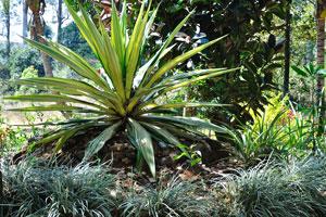Это растение выглядит как агава