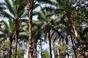 Тонкие пальмы