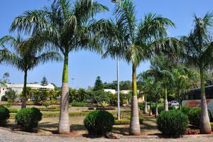 Королевские пальмы в ландшафтном дизайне