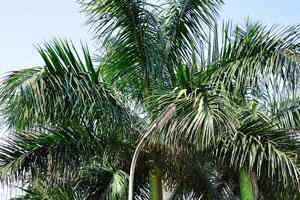 Экзотическая королевская пальма