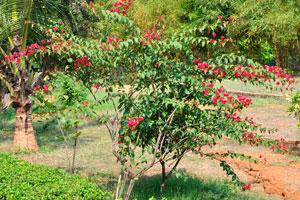 Куст с красными цветами в парке Вуда