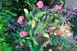 В Вуда парке полно цветущих эуфорбий
