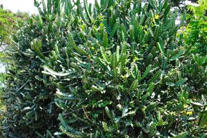 Растения молочая и агавы