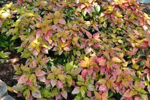 Колеусы с листьями осенних тонов