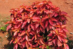 Красный колеус с вкраплениями серого цвета на листьях