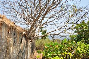 Суккулентный пахиподиум растёт из стены