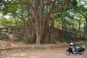 Одно из самых больших деревьев баньяна в Гоа находится недалеко от форта
