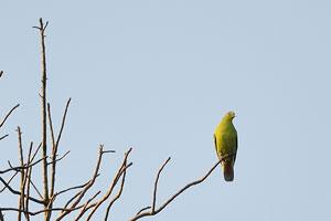 Зелёный голубь