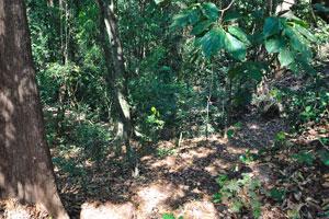 Дремучая чаща леса Котигао