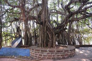 Дерево баньяна у входа в форт