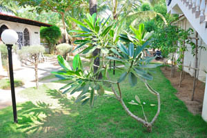 Территория пляжного дома отдыха Мандрем засажена пахиподиумами