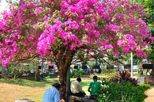 Городской сад Маргао: огромное розовое дерево в цвету