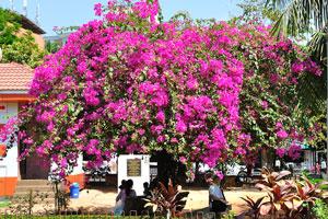 Городской сад Маргао: люди любят сидеть в тени розового дерева