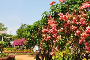 Городской сад Маргао: ландшафтные кусты со светло-красными цветами