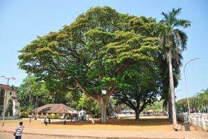 Огромное дерево находится рядом с базиликой Бом Иисус