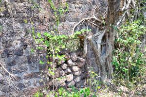 Руины комплекса св. Августина, дерево фикуса