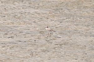 Пляжная птица