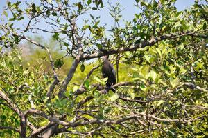 Чёрная птица похожа на дикую утку