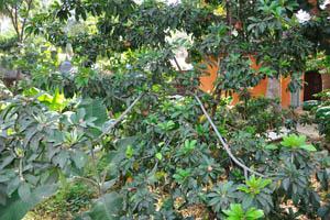 Дерево Чику (Манилкара Запота)