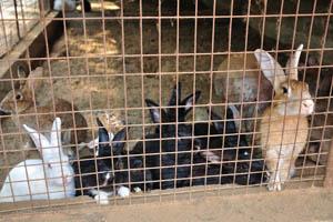 Гоанский Угол, кролики