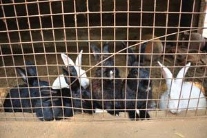 Гоанский Угол, чёрные и белые кролики