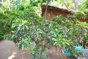 Дерево Чику с почти спелыми фруктами