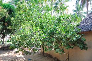 Гоанский Угол, дерево помело с плодами