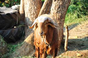 Гостевой дом и ресторан Маугли, индийская овца