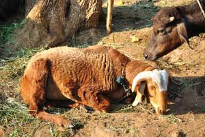 Овца и корова