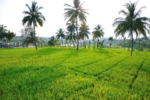 Пальмы посреди рисового поля