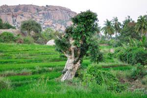 Дерево бонсай на рисовом поле