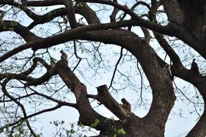 Тонкотелы на дереве