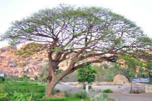 Дерево недалеко от места отдыха Кишкинда