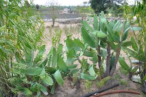 Сасивекалу Ганеш, растения опунции