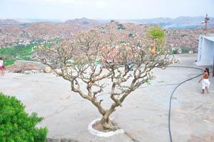 Дерево пахиподиума без листьев