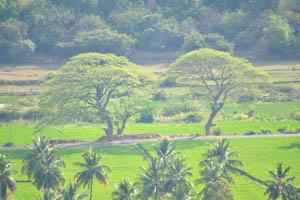 Два огромных дерева на горизонте