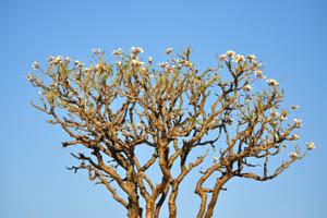 Дерево пахиподиума растет всё выше и выше в небо