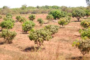 Плантация деревьев манго