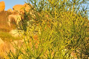Растение с формой зонтика