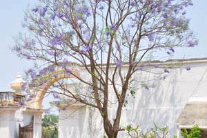 Безлистные деревья с фиолетовыми цветами