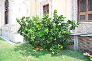 Помело дерево с плодами