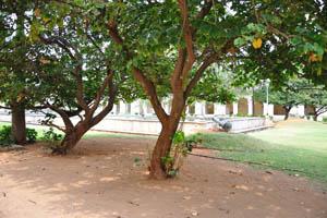 Взрослые зелёные деревья сада