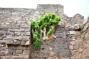 Суккулентное растение вросло в стену