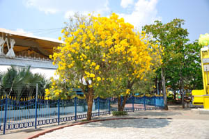 Дерево с жёлтыми цветами
